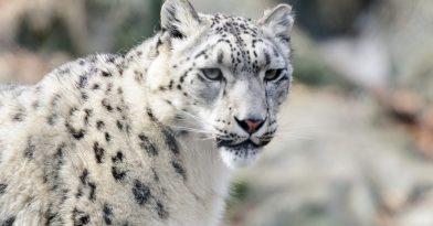 Απίστευτο: Λεοπάρδαλη με κορονοϊό σε ζωολογικό κήπο!