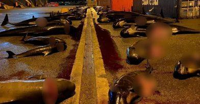 Νησιά Φερόε: Σφαγιάστηκαν ακόμα 52 δελφίνια!